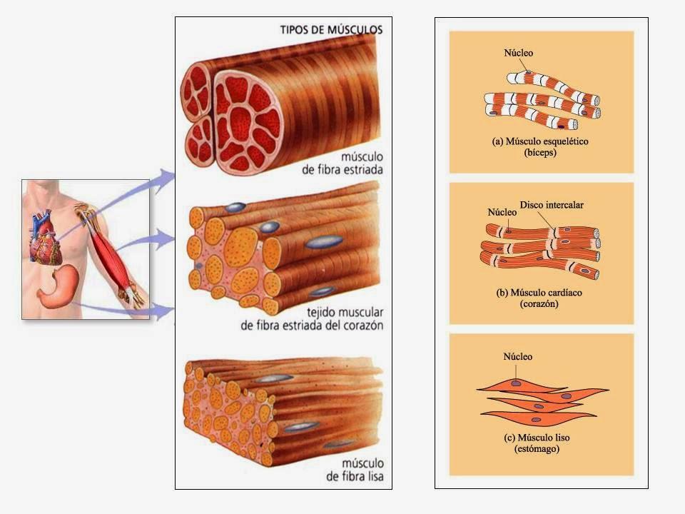 Conociendo El Cuerpo Humano: Miología