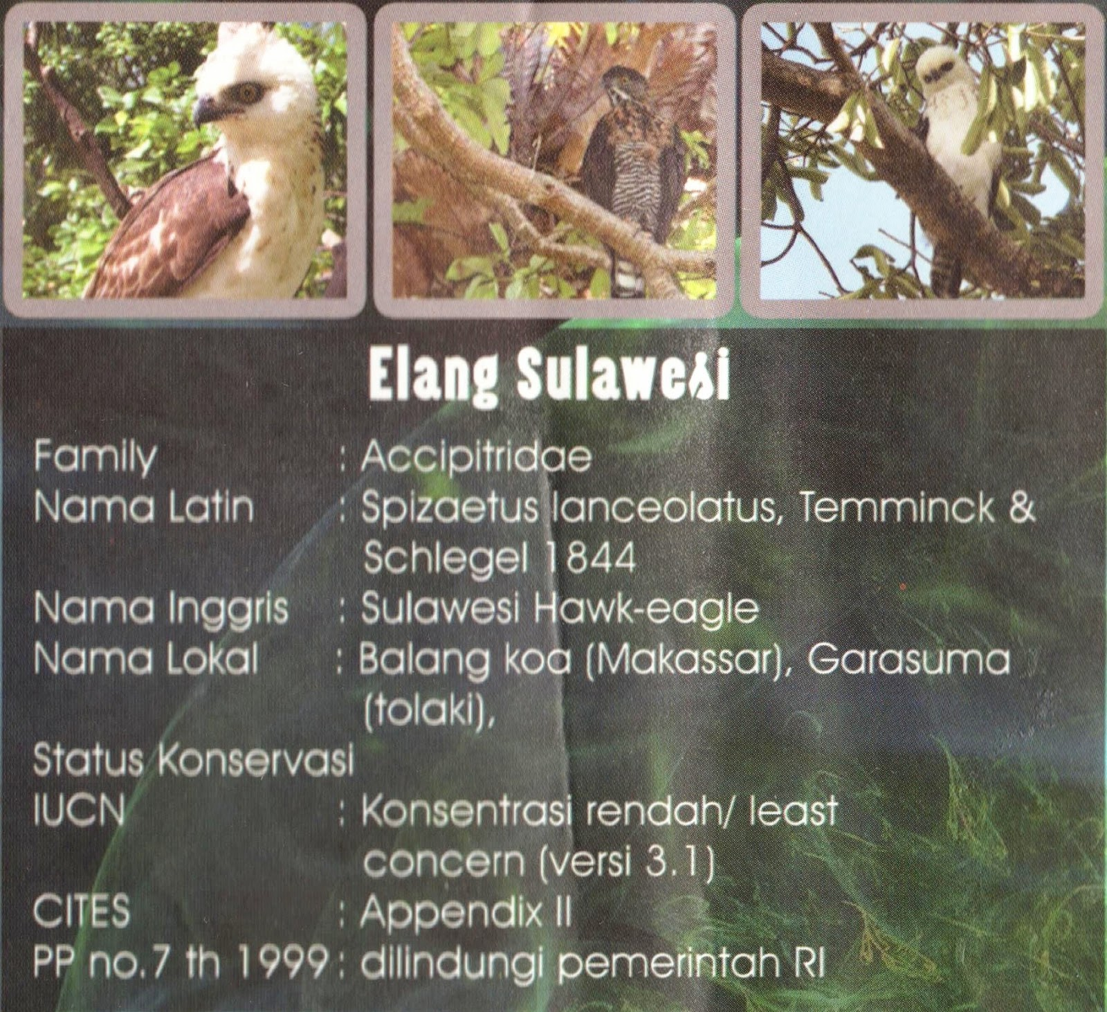 Elang Sulawesi