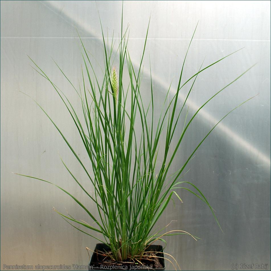 Pennisetum alopecuroides 'Hameln' - Rozplenica japońska
