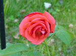 Kathy's Rose