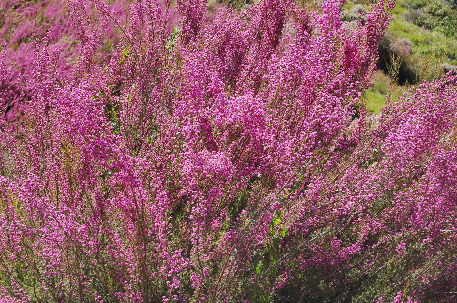 A passion for flowers hot in season filler flowers calycina thryptomene mightylinksfo