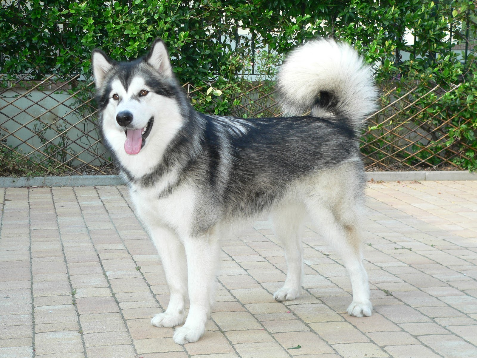 Alaskan Malamute Reviews And Pictures