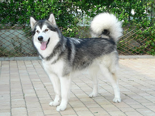 alaskan malamutes, about alaskan malamute, the alaskan malamute, photos of dogs, puppy pictures, dog pictures, alaskan malamute pics, alaskan malamute photo, alaskan malamute