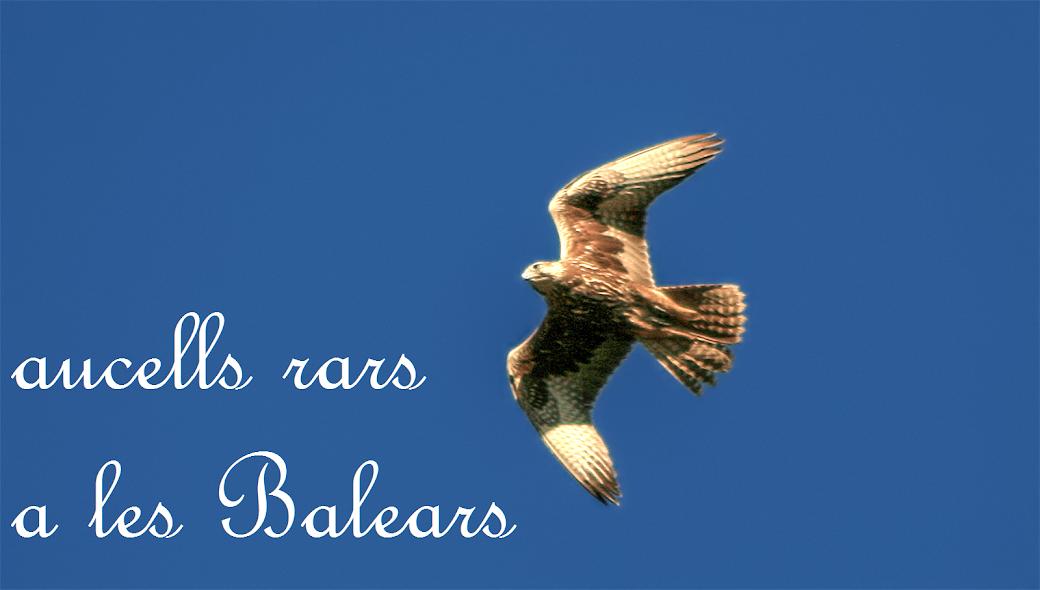 Aucells rars a les Balears / Rare birds in the Balearics