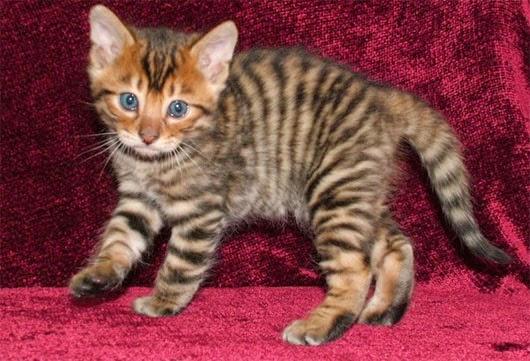 Mèo Toyger