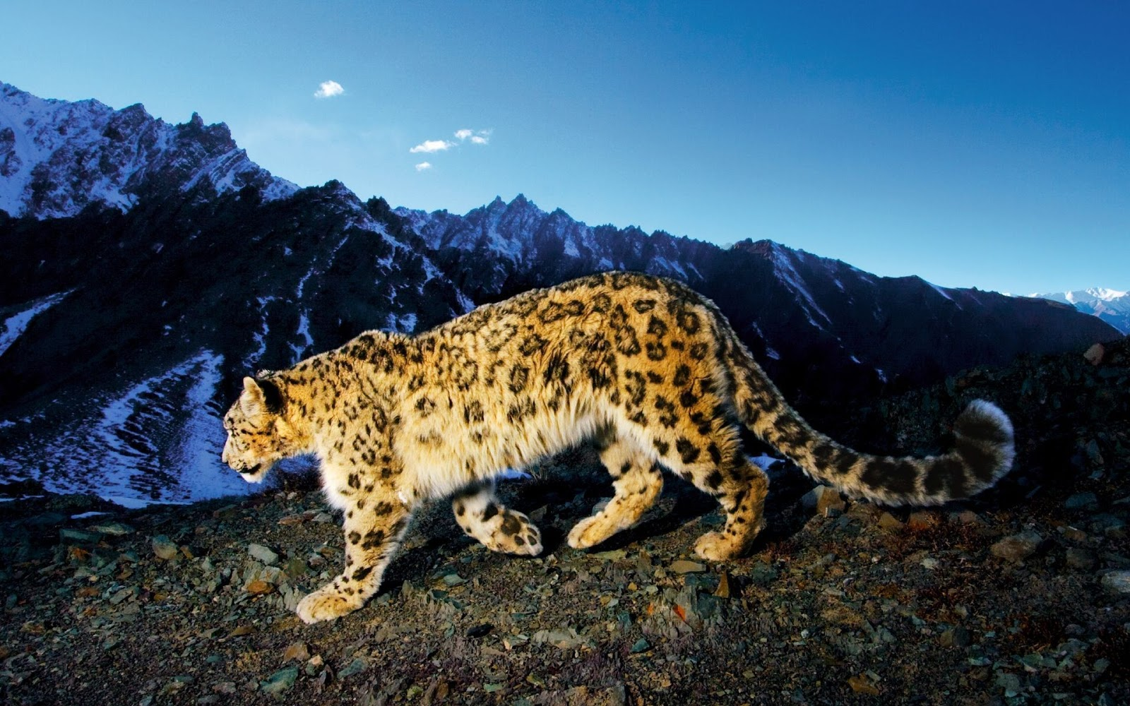 http://1.bp.blogspot.com/--IePluV7b3M/UKAqUGhFgZI/AAAAAAAACaM/R2W_09bJIks/s1600/Leopard+in+winter+wallpaper+(1920+x+1200).jpg