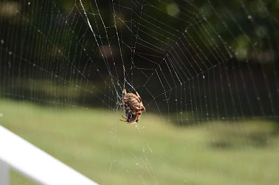 garden spider on my front porch