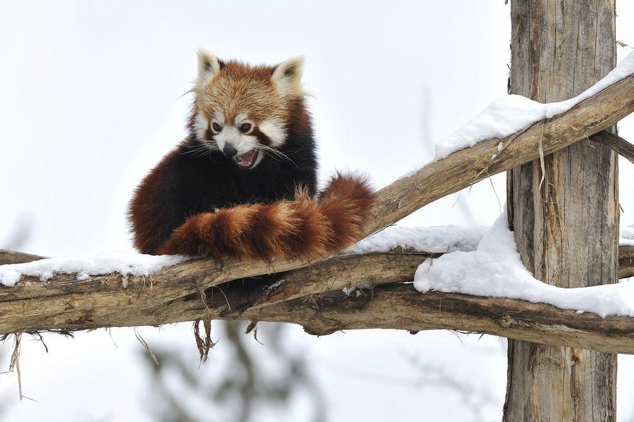 9. Red Panda Laughter by Josef Gelernter