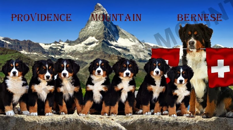 Providence Mountain Bernese