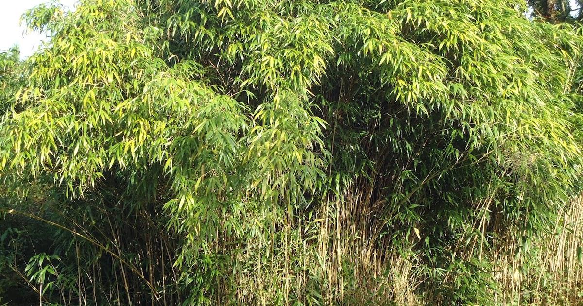 Opciones menstruales es la tela de bamb ecol gica - Cultivo del bambu ...