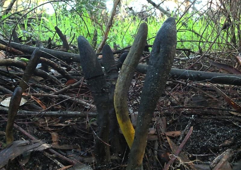 Cordyceps australia