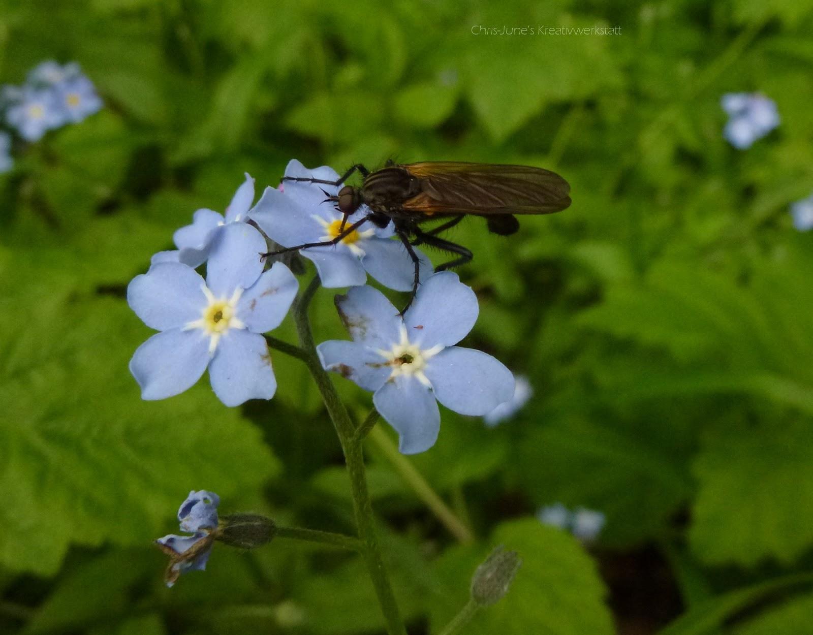 Vergissmeinnicht mit Insekt