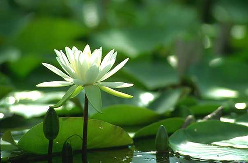 Lotus Super 7 >> all picture collection: bangladeshi flowers photos