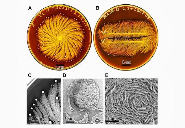 l'aspect original d'une culture de Paenibacillus vortex