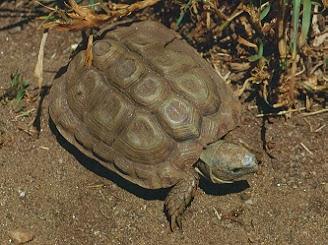 Tortuga de El Cabo (Homopus areolatus)