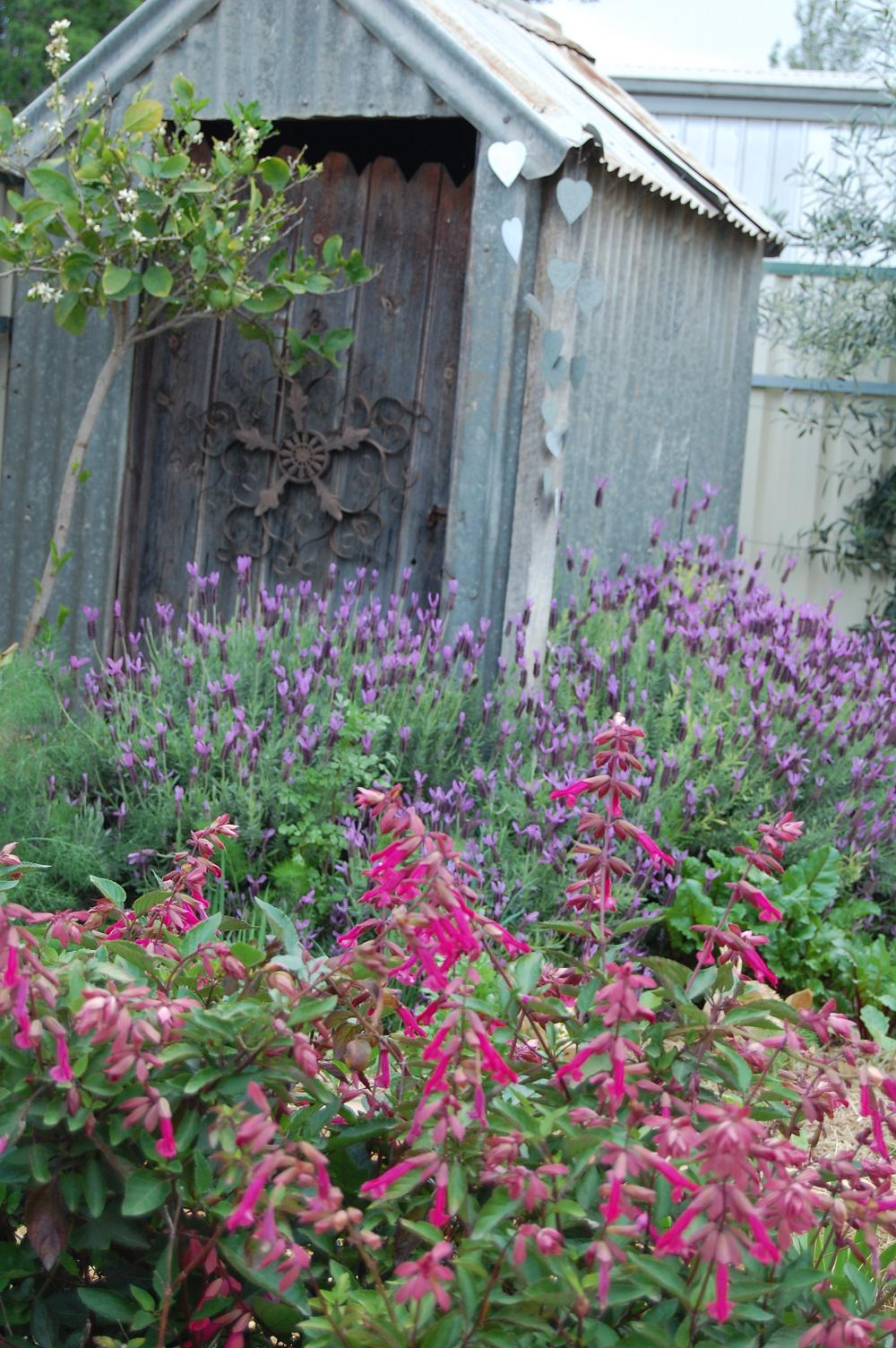 Serenity Nursery Blog Salvia 39 Wendy39s Wish39