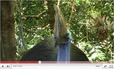 最危險的鳥 澳洲 食火雞 Casuarius