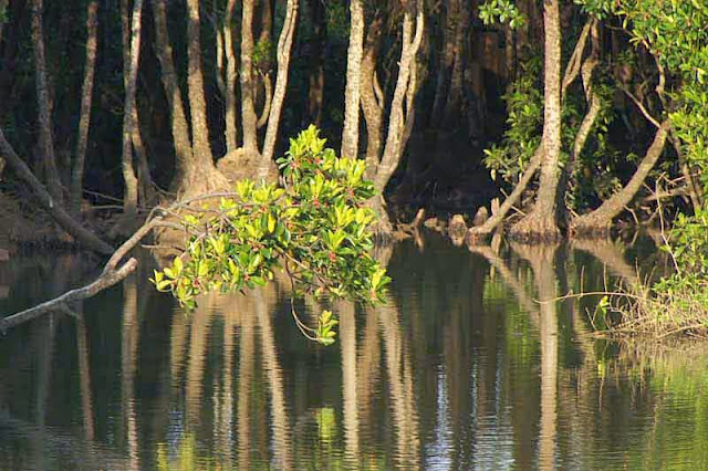 mangrove, trees, river, reflections, flowers