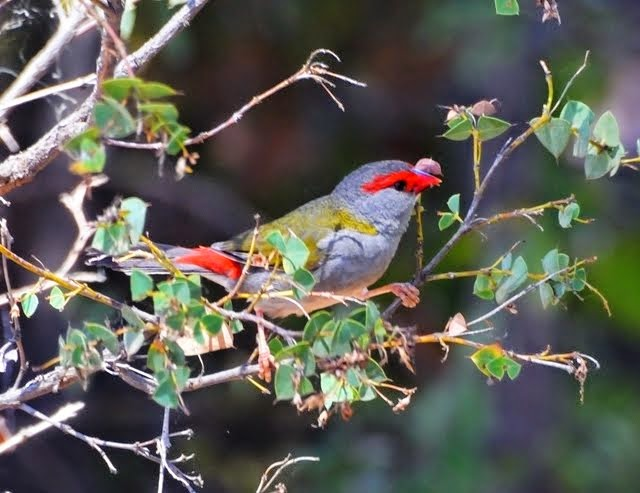 Red-browed Finch_3877