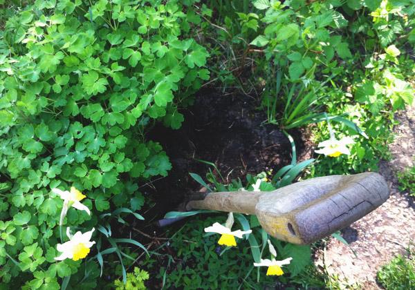 Akleja, pingstliljor, ogräs och hallonbuskar