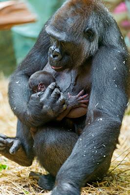 Chraňme přírodu i živé tvory - matka gorilla a baby