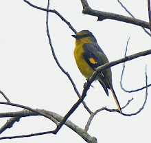 Scarlet Minivet-Female_2011
