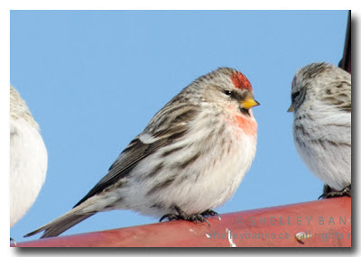 A Redpoll with a scarlet/orange cap and breast markings. photo © Shelley Banks