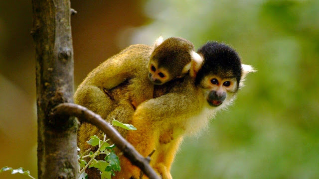 18902-Loving Monkeys Cute Animal HD Wallpaperz