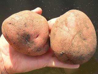vkusniogorod, картофель Любава
