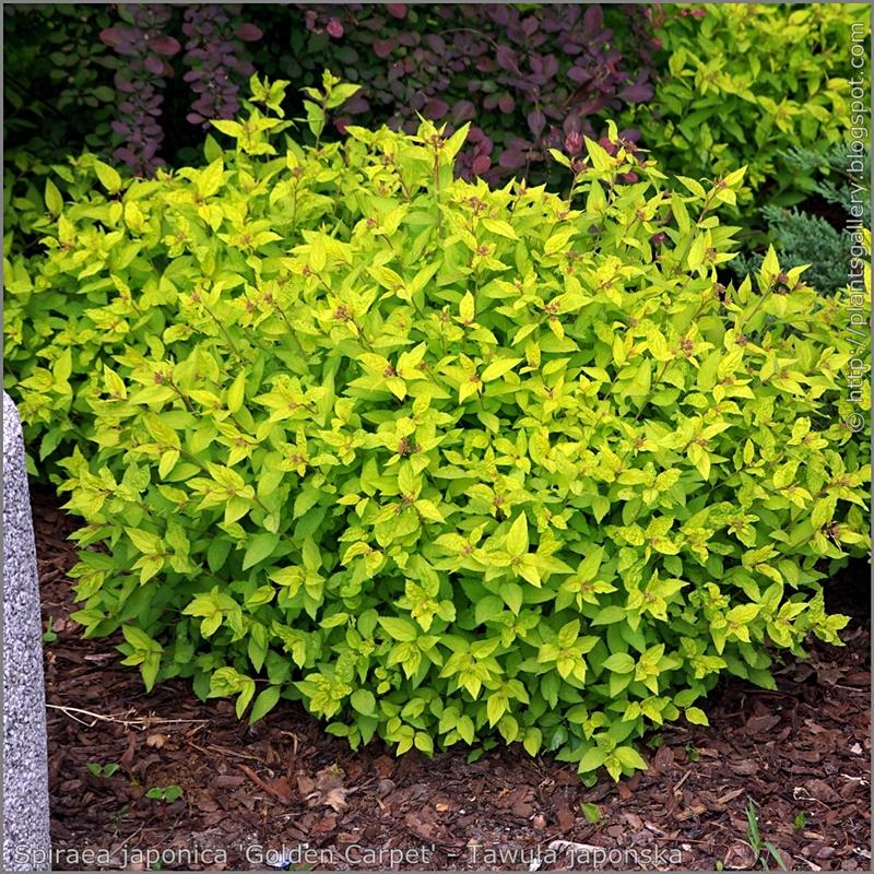 Spiraea japonica 'Golden Carpet' habit - Tawuła japońska 'Golden Carpet'  pokrój