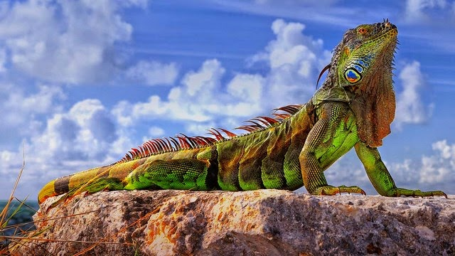 Una bellissima Iguana Verde .