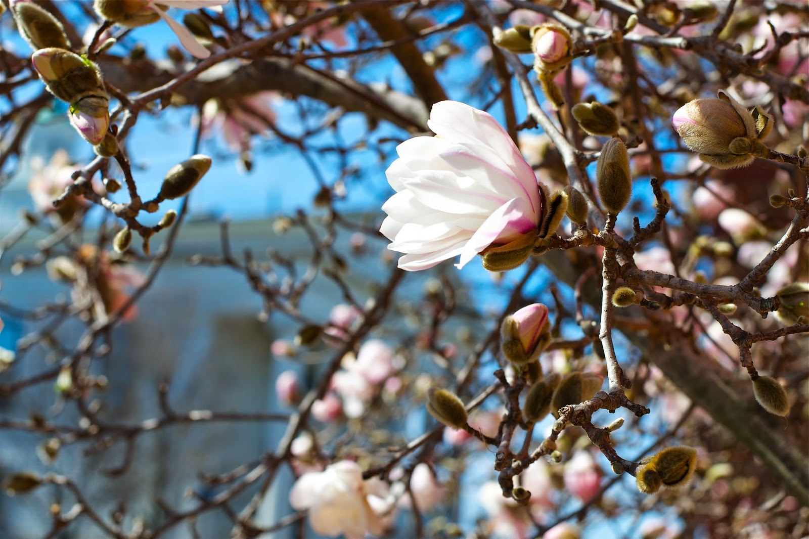 Magnolia flower, so beautiful!