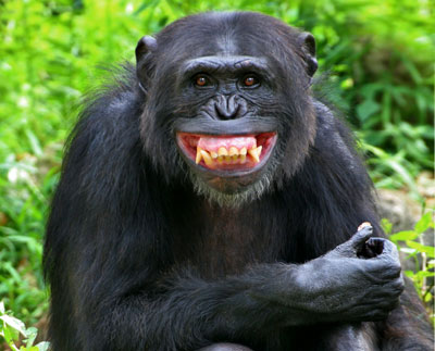funny animals funny chimp face