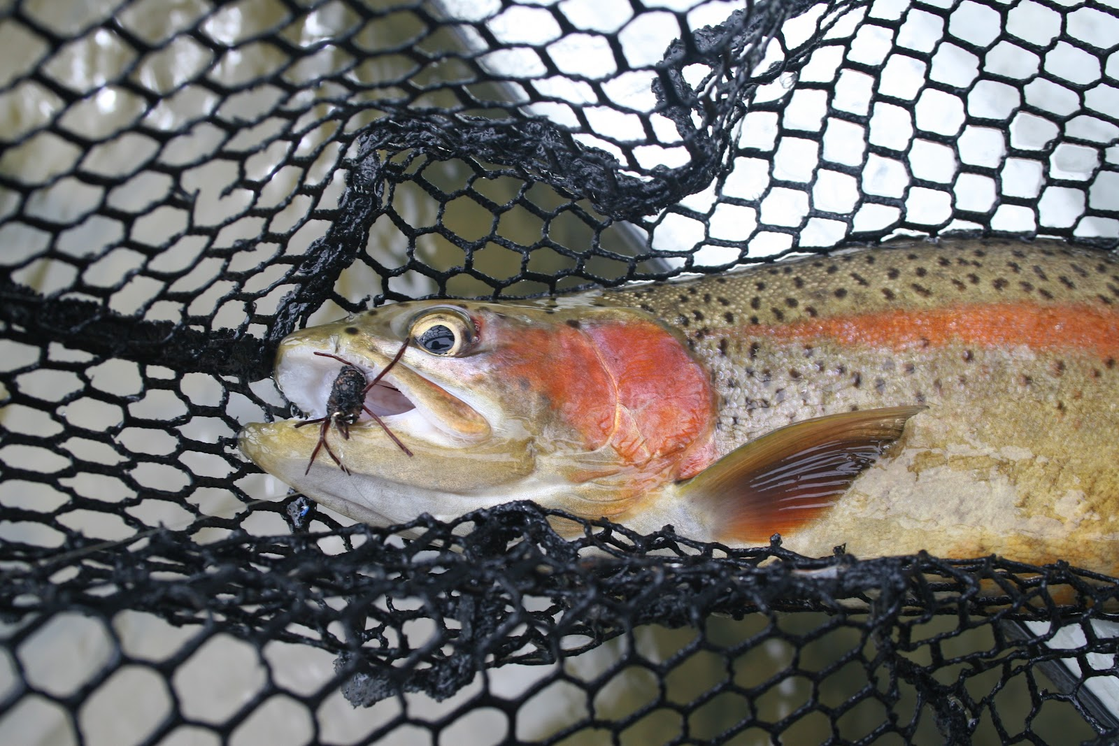 Boots snake river angler fly fishing report for may 6th for Snake river fly fishing