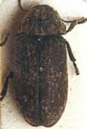 reloj de la muerte - escarabajo