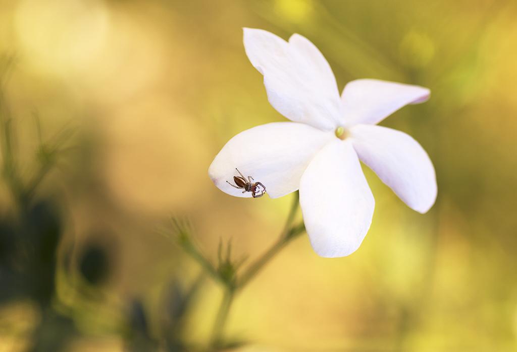 Fotografía macro flores jazmín