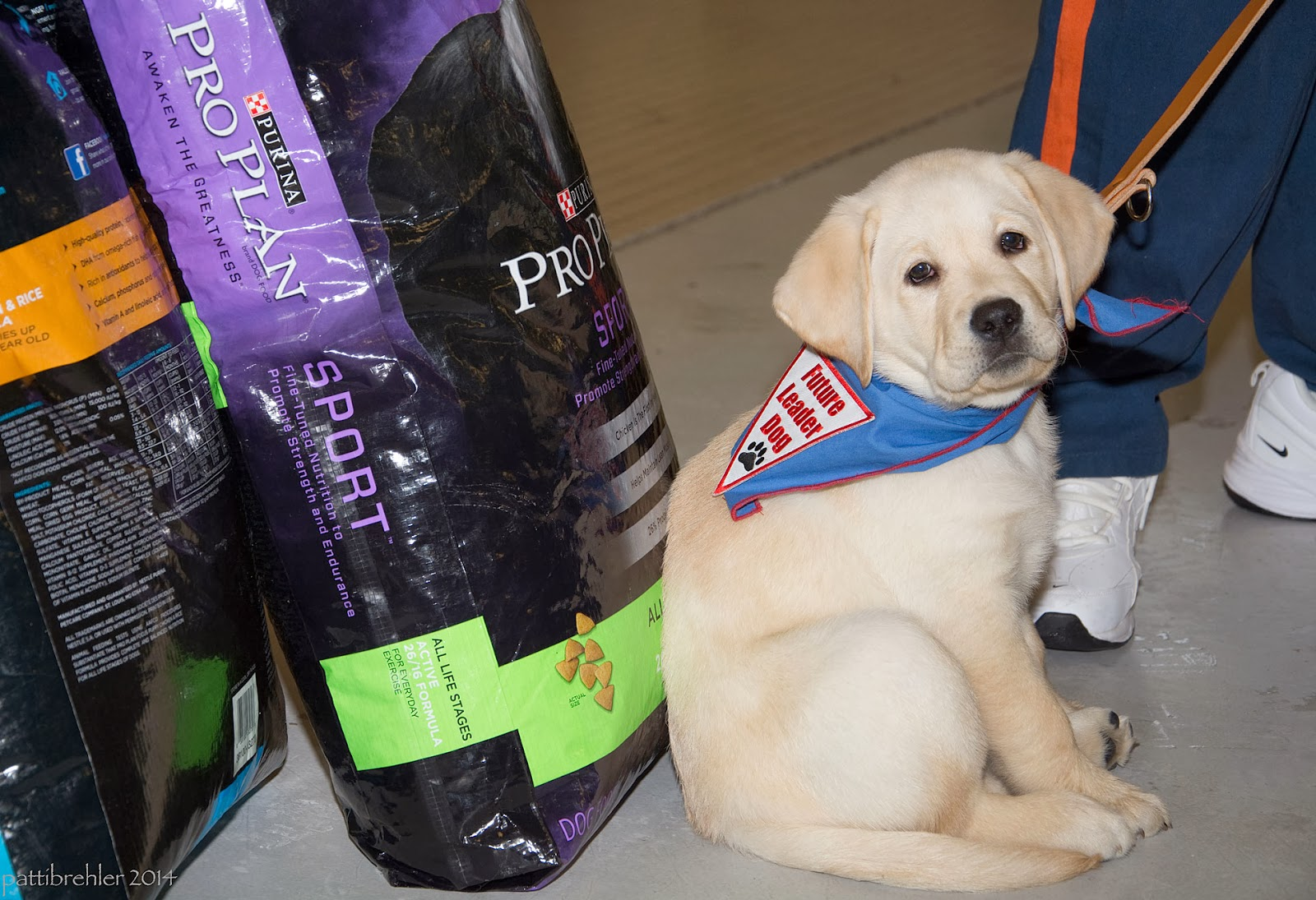 A fluffy little yellow lab puppy is sitting on the floor on the right side of the photo with a leash going up to the right. He is wearing a blue bandana with a white triangle patch with red letters that say Future Leader Dog and a black paw print. There are blue pant legs with an orange stripe and white tennis shoes visible behind the puppy. On the left side of the photo are two 50 pound bags of Purina Pro Plan dog food. The puppy is looking at the camera.