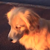 Δεν υπάρχει: Σκύλος μιμείται σειρήνα ασθενοφόρου! [video]