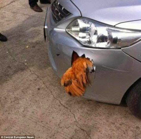 Chickens Hit 112 km / h, the car was damaged Precisely