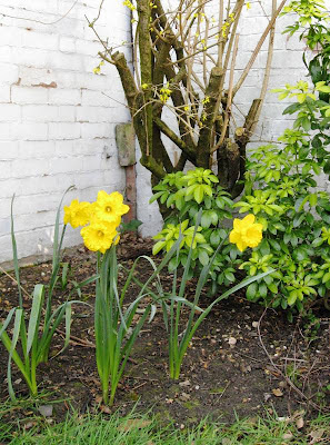Daffodils in the corner of the garden