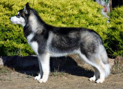 Husky siberian perro más hermoso
