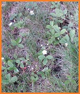 A small patch of wild strawberries poking through grass.  They're only slightly taller than the grass blades.