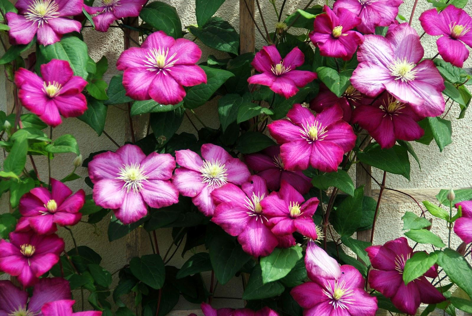 Conosciuto Il mondo in un giardino: La grazia delle clematis YS82