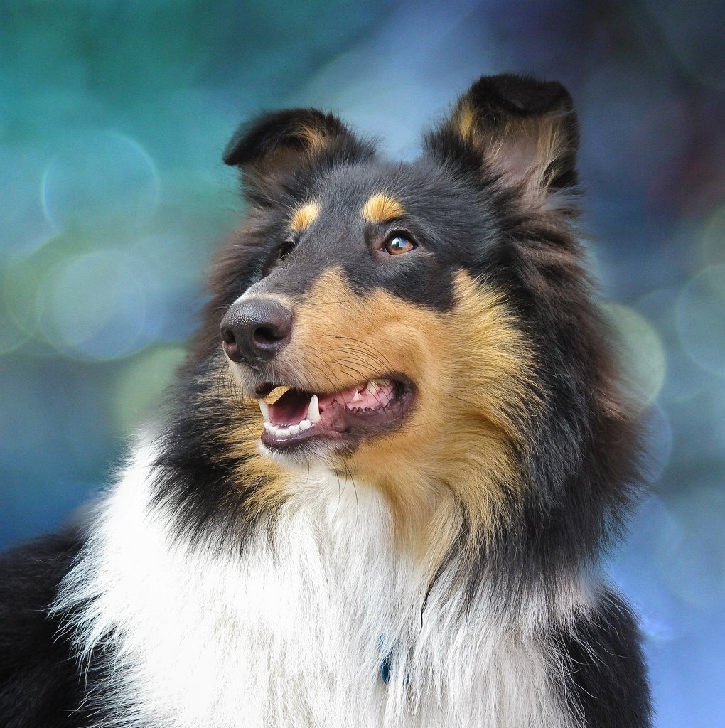 collie dogs breed | cute puppy pictures | cute dogs pictures | cute ...