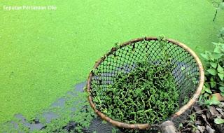 101 Pakan Alternatif untuk Ikan Nila