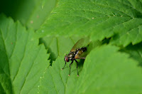 Common house fly (Musca domestica)