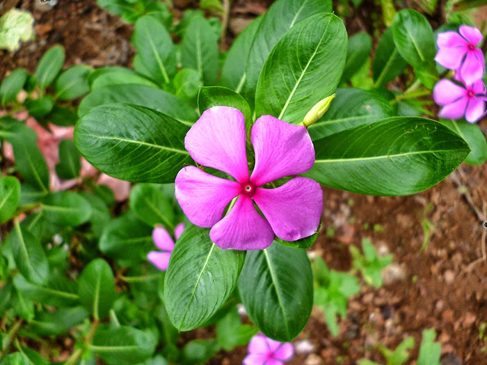 Catharanthus roseus-Rosy Periwinkle-Blue pearl Flowers-Minii mal ...