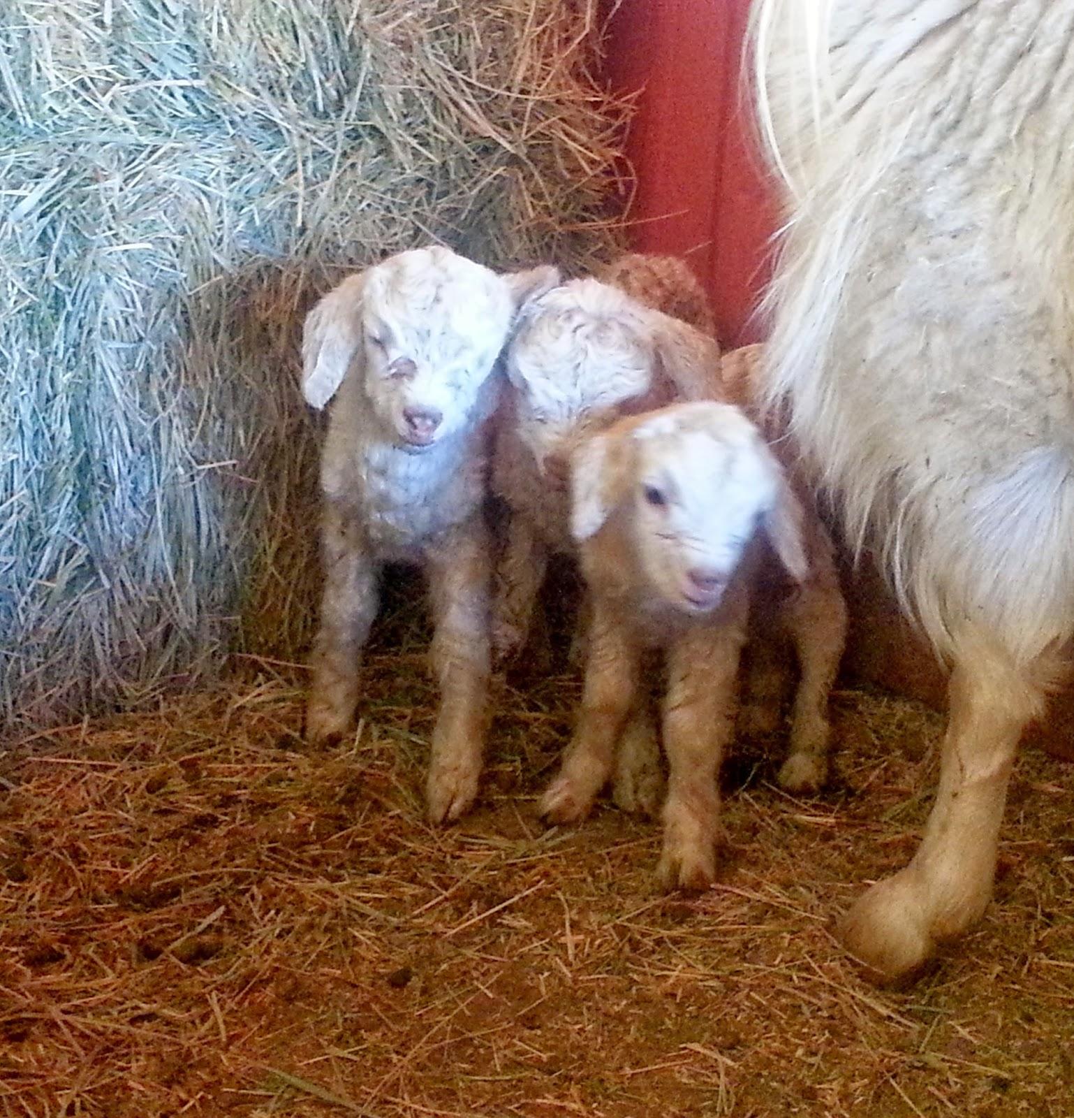 Baby cashmere goat - photo#20