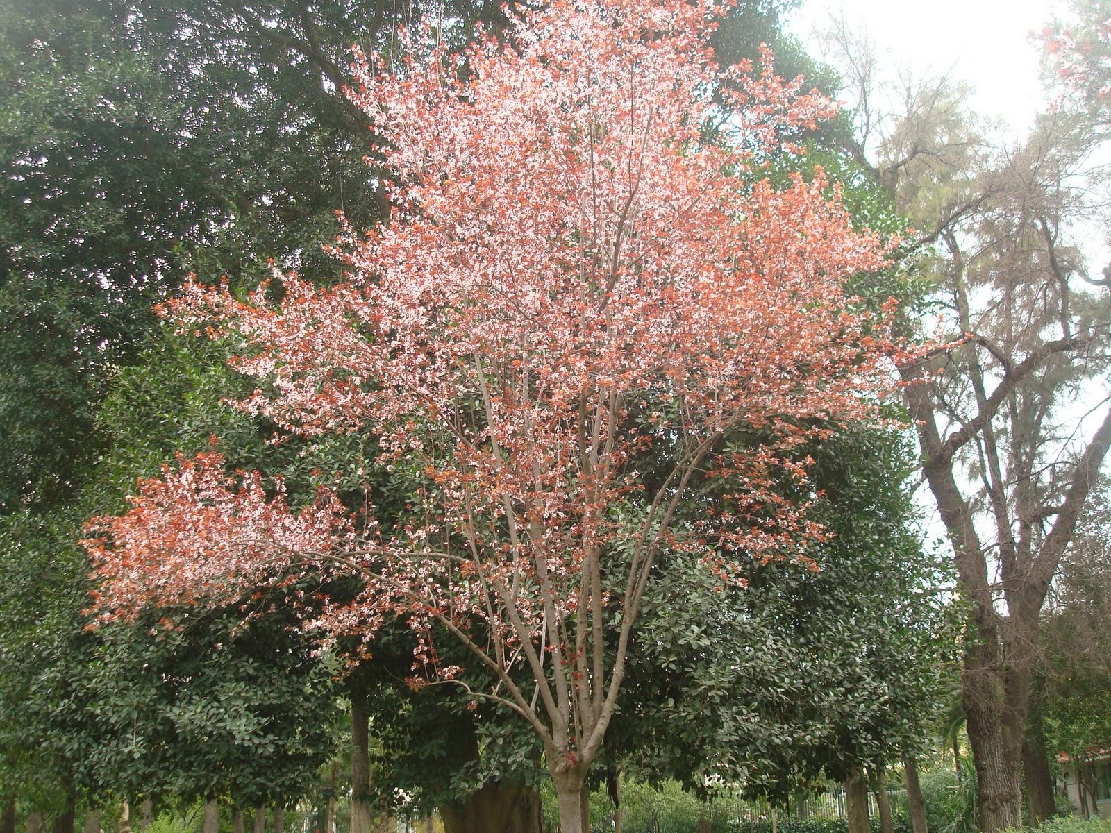 Elarbolmiamigo encinarosa ciruelo del jap n prunus for Arbol ciruelo de jardin