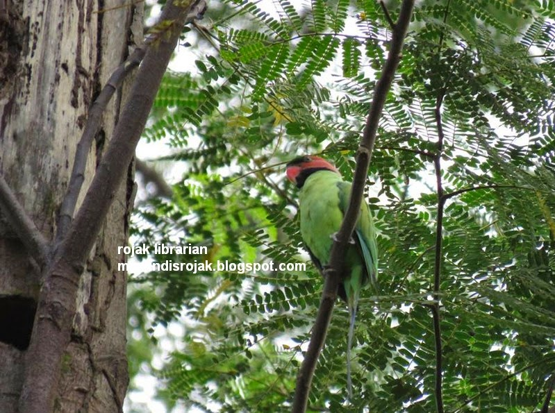 Long tailed Parakeet in Bidadari